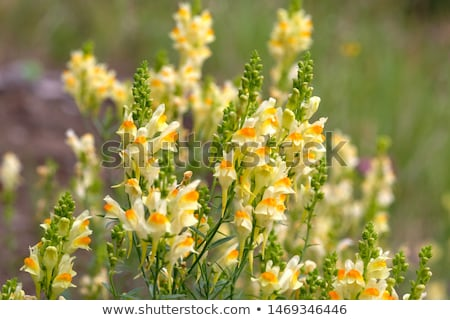 Common toadflax (Linaria vulgaris) Stock photo © rbiedermann