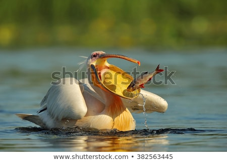 great white pelicans pelecanus onocrotalus stock photo © dirkr