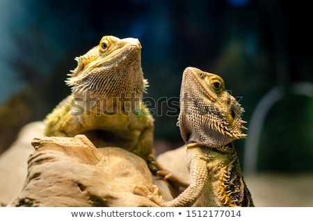 australian bearded dragon   pogona vitticeps stock photo © bigknell