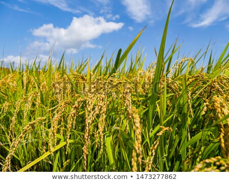 Vivid rice field Stock photo © smithore