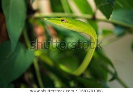 juvenilis · kígyó · fa · fekete · fiatal · állat - stock fotó © hochwander