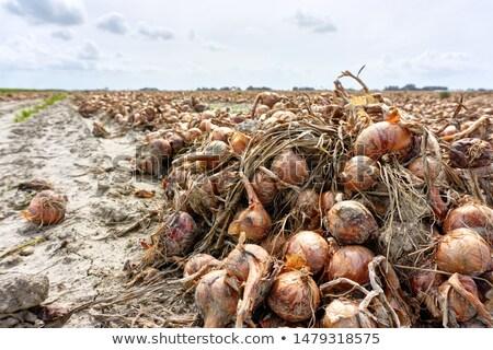 Harvested onions at a field Stock photo © olandsfokus
