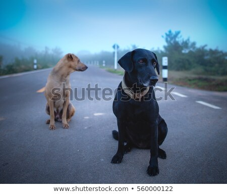 beautiful labrador with the suitcase stock photo © master1305