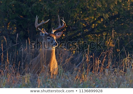 deers in morning light in the forest Stock photo © meinzahn