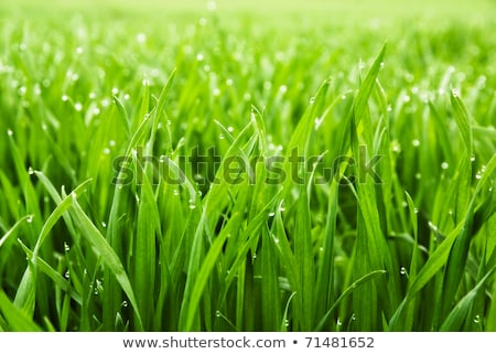 green grass closeup with dew drops Stock photo © OleksandrO