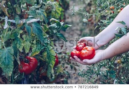 作り出す · フルーツ · 女性 · チェリー · 孤立した - ストックフォト © peteer