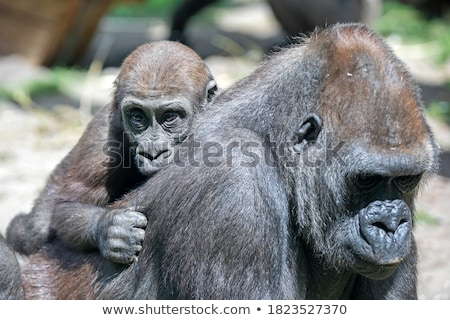 Baby Mountain gorilla on the back of his mother. Stock photo © simoneeman