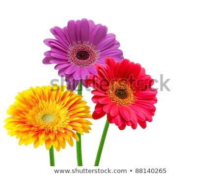 Daisy · fiore · foto · rosso · bianco · alto - foto d'archivio © kayros