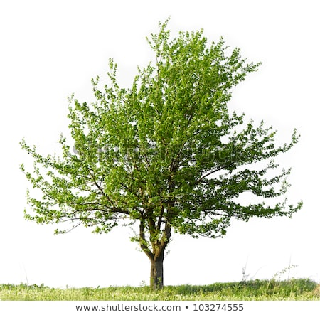 An isolated pear tree on a white background Stock photo © Zerbor