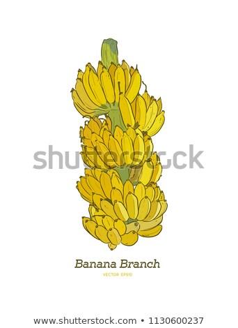 Realistisch vector banaan tak bananen geïsoleerd Stockfoto © MarySan