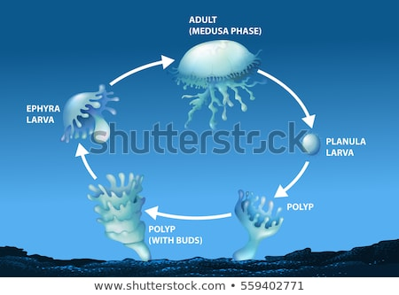 Diagram showing life cycle of jellyfish Stock photo © bluering