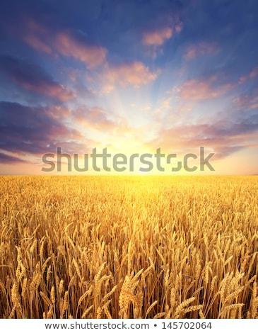 Mező gabona részletes kilátás égbolt étel Stock fotó © frank11