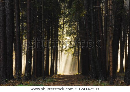 Low early spring setting sun in a forest casting long shadows Stock photo © lightpoet