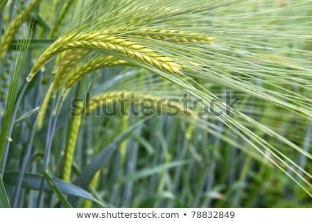 Fresh Barley Field Hordeum In Bavaria Germany Stok fotoğraf © haraldmuc