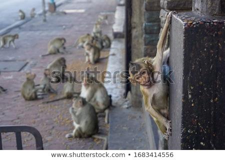 Monkey in a city Stock photo © joyr