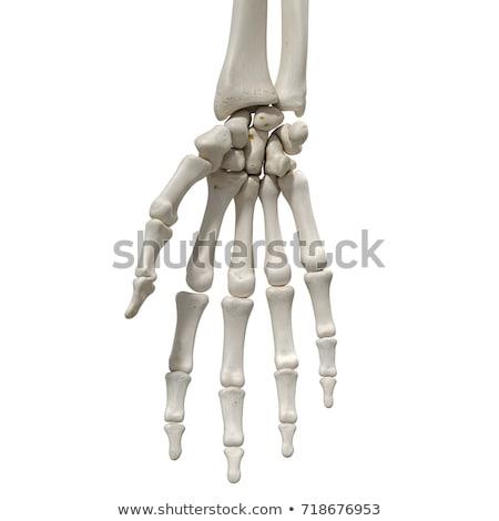 Skeletal hand Stock photo © 4designersart