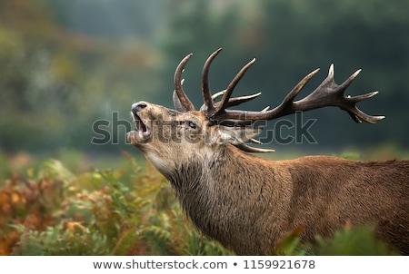 red deer eye Stock photo © taviphoto