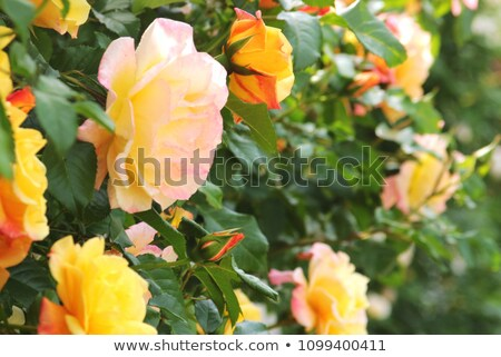 Pink climbing roses Stock photo © Julietphotography