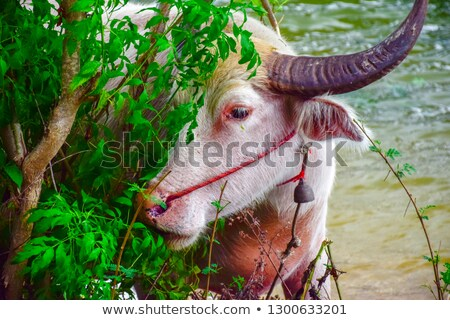 potrait buffalo with rope on pond green field of Thailand stock photo © yanukit