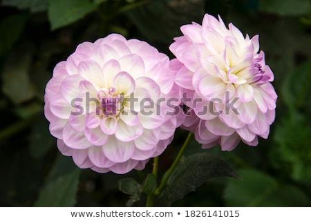 roze · dahlia · bloem · textuur · tuin · achtergrond - stockfoto © Paha_L