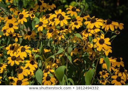 три цветы ярко желтый лепестков растущий Сток-фото © sarahdoow