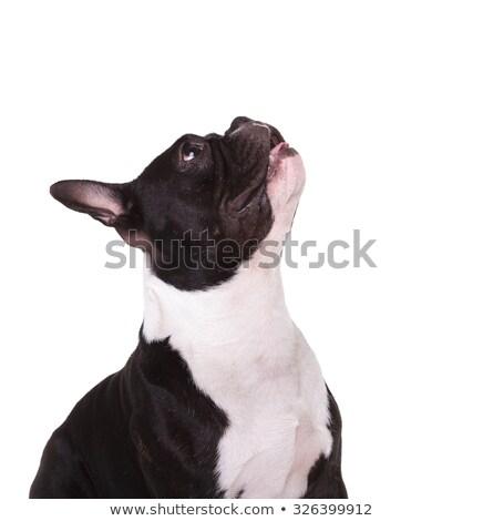 Imádnivaló fekete bulldog zihálás felfelé néz oldal Stock fotó © feedough