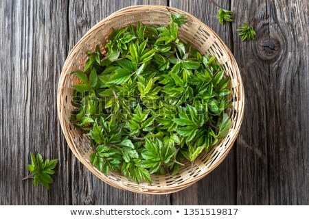 Young ground elder leaves in a basket, top view Stock photo © madeleine_steinbach