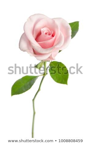 Roze rozen groene geïsoleerd witte bruiloft Stockfoto © Melnyk