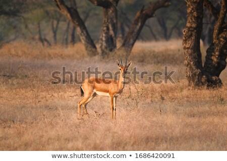 Indian gazelle parc Inde jeunes marche Photo stock © dmitry_rukhlenko