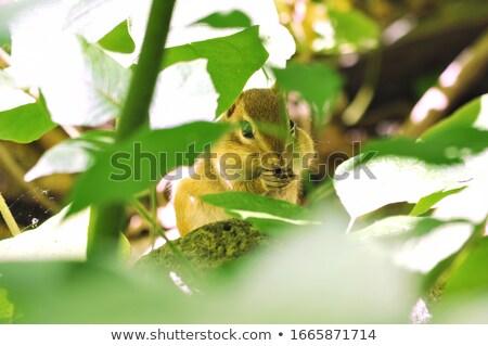 chipmunk · albero · alimentare · erba · natura · estate - foto d'archivio © mackflix