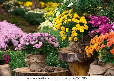 violeta · crisantemo · flor · superior · vista · aislado - foto stock © mahout