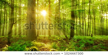 sunlight beams in forest stock photo © smithore