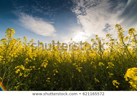rape field and sky Stock photo © romvo