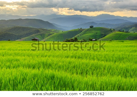 Green rice field in Thailand Stock photo © jakgree_inkliang