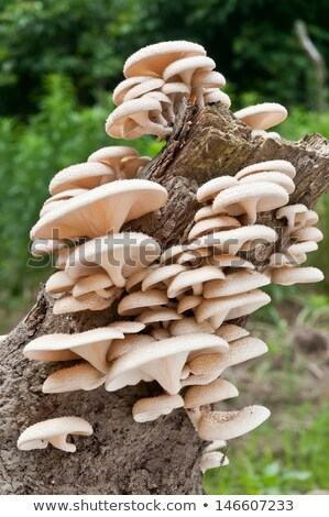Parasitic fungi on a tree trunk Stock photo © marekusz