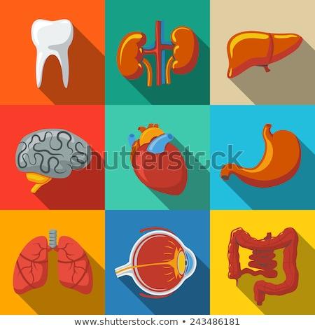 intern · 3D · gerenderd · anatomisch · illustratie - stockfoto © spectral