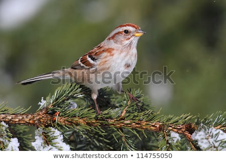 american tree sparrow in a tree stock photo © ca2hill