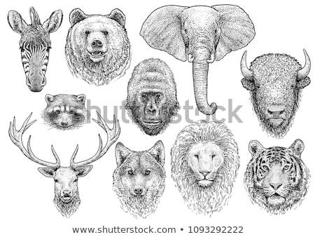 выстрел · лев · рот · Африка · голову - Сток-фото © mariephoto