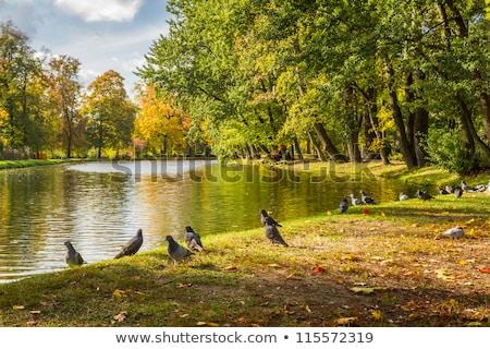 pigeon on the park footpath Stock photo © taviphoto