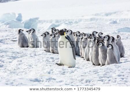 Pinguino ghiaccio cute vettore indossare occhiali da sole Foto d'archivio © fizzgig