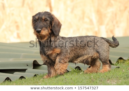 tekkel breed standing on green grass Stock photo © taviphoto