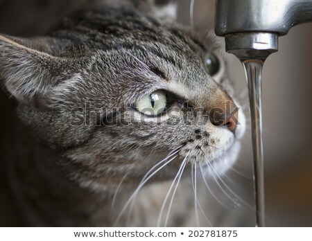 European cat drinks water from the tap.  Stock photo © g215