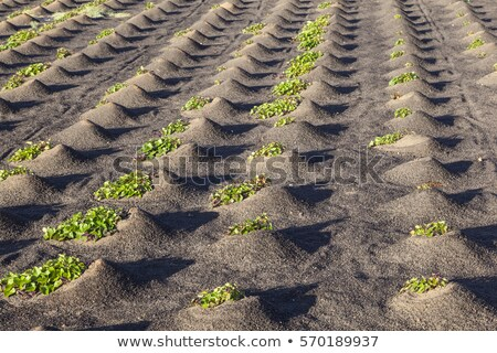 pattern of field with vegetables growing on volcanic earth stock photo © meinzahn