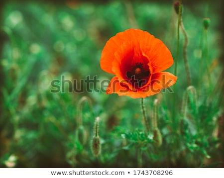 single poppy in the grass  Stock photo © OleksandrO