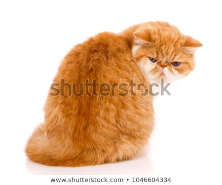 cute · exotisch · korthaar · kitten · witte · Blauw - stockfoto © cynoclub