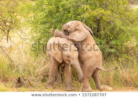 genç · fil · safari · park · Namibya · bebek - stok fotoğraf © dirkr