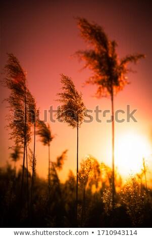 соломы закат мягкой небе Сток-фото © olandsfokus