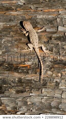 トカゲ · 隠された · 樹皮 · ツリー · クール - ストックフォト © cboswell