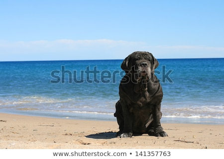 Bodyguard. Neapolitan Mastiff. stock photo © fantazista