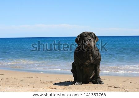 Lijfwacht bulhond best meisje zon natuur Stockfoto © fantazista